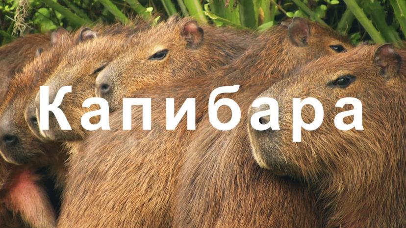 """OCN Mobile ONE """"Capybara"""""""